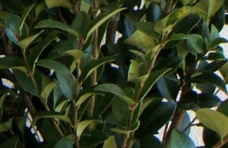 ligustrum_texanum